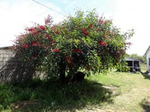 Erythrina crista-galli: Ceibo Baum, der Nationalbaum von Uruguay und Argentinien – Fotos