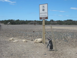 Pinguinreservat Punta Tombo
