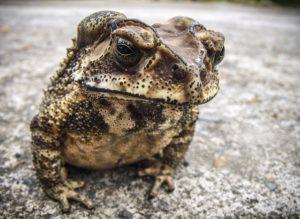 Riesenkröte 6 Kilo – Der größte Frosch der Welt